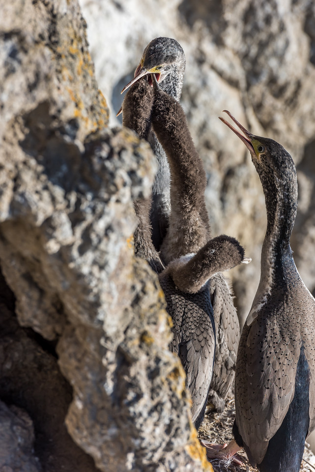 Spotted shag / pārekareka (Stictocarbo punctatus). Heyward Point, Dunedin.