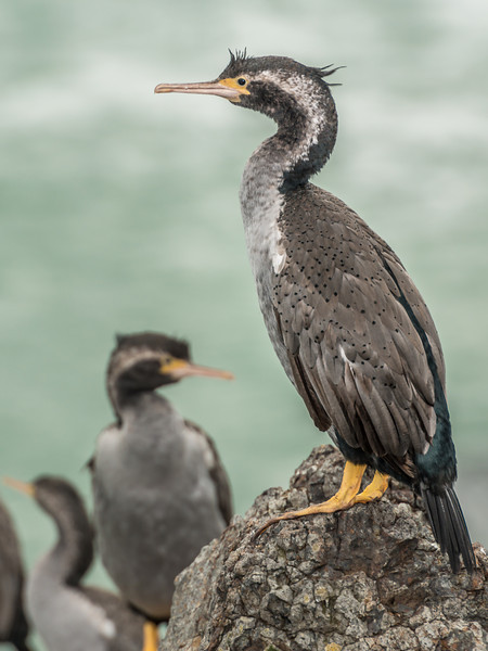 Spotted shag / pārekareka (Stictocarbo punctatus). Heyward Point, Dunedin
