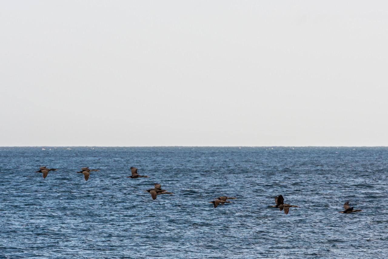 Spotted shag / pārekareka (Stictocarbo punctatus) in flight, Aramoana mole