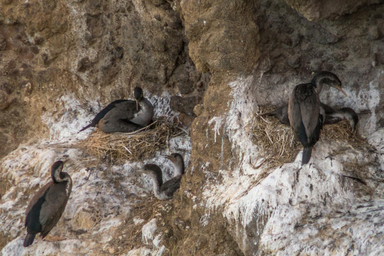 Nesting spotted shags / pārekareka (Stictocarbo punctatus). Taiaroa Head, Otago Peninsula
