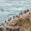 Spotted shags / pārekareka (Stictocarbo punctatus). Heyward Point, Dunedin.