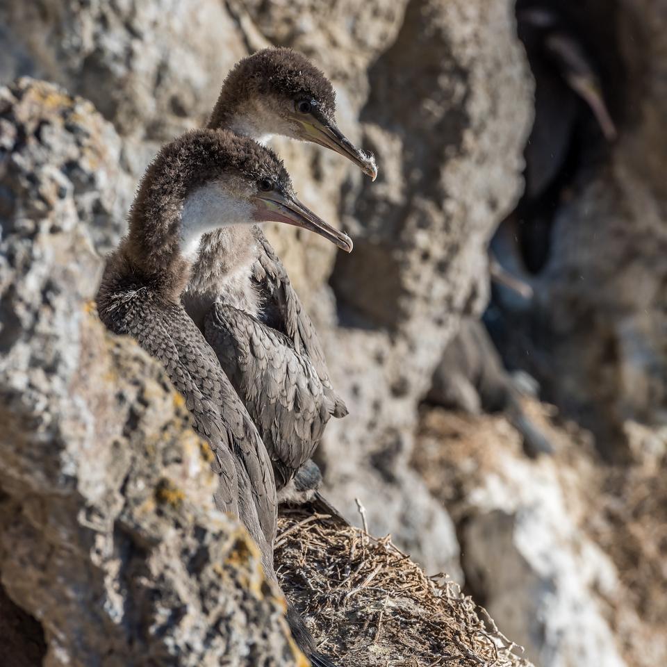 Spotted shag / pārekareka (Stictocarbo punctatus). Heyward Point, Dunedin.