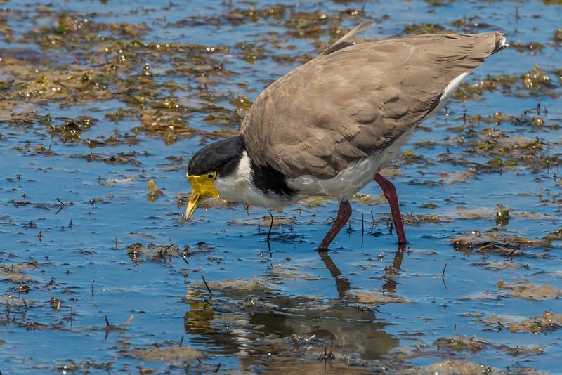 Spur-winged plover (Vanellus miles). Hoopers Inlet, Otago Peninsula