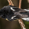 Male tomtit / miromiro (Petroica macrocephala). Perry Saddle Hut, Heaphy Track, Kahurangi National Park.