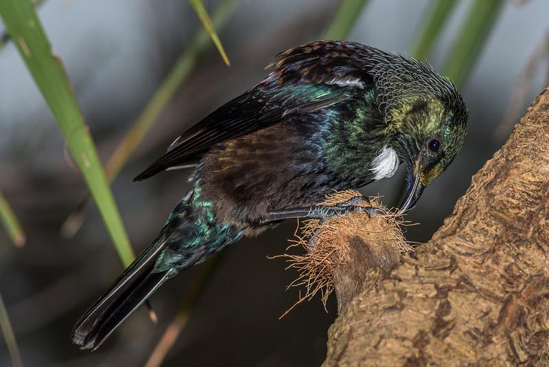Tūī (Prosthemadera novaeseelandiae)