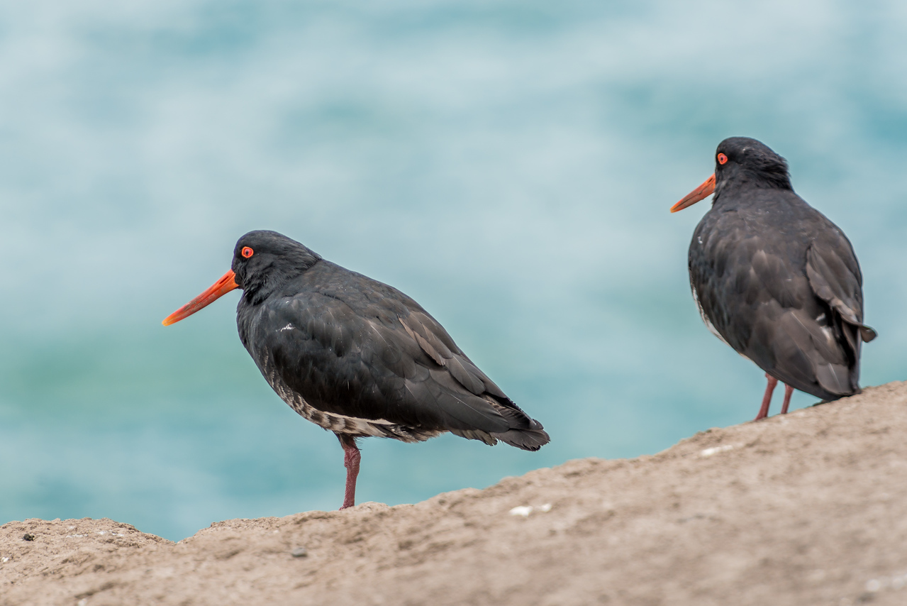 Variable oystercatcher / tōrea (Haematopus unicolor). Heyward Point, Dunedin.