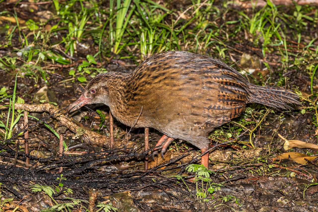 Weka (Gallirallus australis). Resolution Bay, Queen Charlotte Sound.