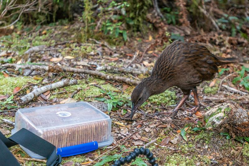 Weka (Gallirallus australis). Katherine Creek, George Sound Route, Fiordland National Park.