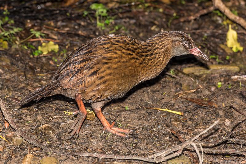 Weka (Gallirallus australis). Resolution Bay, Queen Charlotte Sound.
