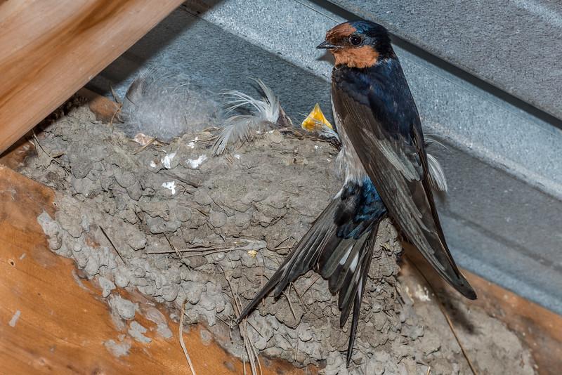 Welcome swallow / warou (Hirundo neoxena) nest. Travis Wetland, Christchurch.