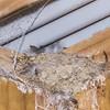 Welcome swallow / warou (Hirundo neoxena) nest. Waiopaoa Hut, Lake Waikaremoana Track.