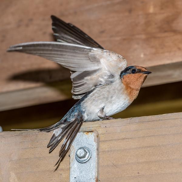 Welcome swallow / warou (Hirundo neoxena). Travis Wetland, Christchurch.