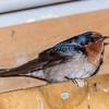 Welcome swallow / warou (Hirundo neoxena). Waiopaoa Hut, Lake Waikaremoana Track.