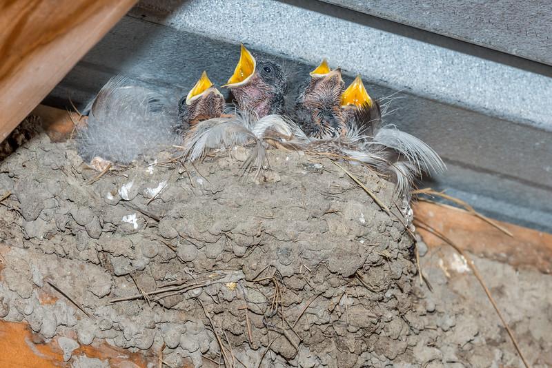 Welcome swallow / warou (Hirundo neoxena) nest with chicks. Travis Wetland, Christchurch.