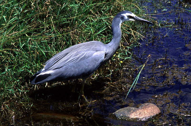 White-faced heron (Egretta novaehollandiae), Abel Tasman National Park