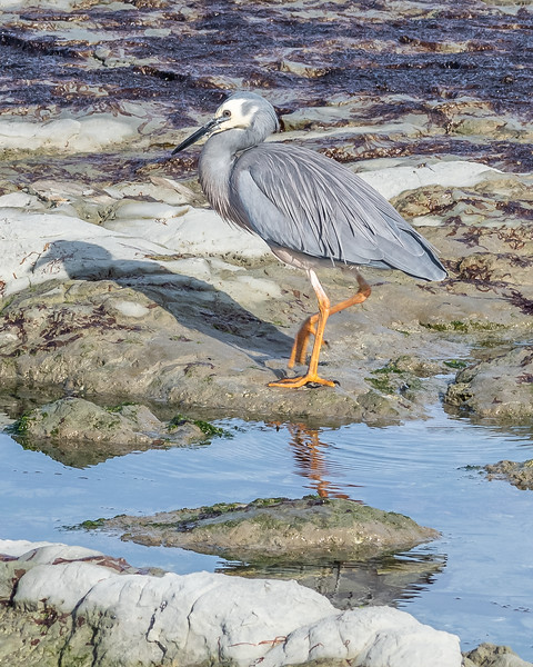 White-faced heron / Matuku moana (Egretta novaehollandiae). Point Kean, Kaikōura.