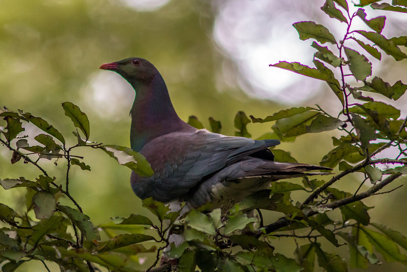 New Zealand wood pigeon or kererū (Hemiphaga novaeseelandiae), Lake Monowai