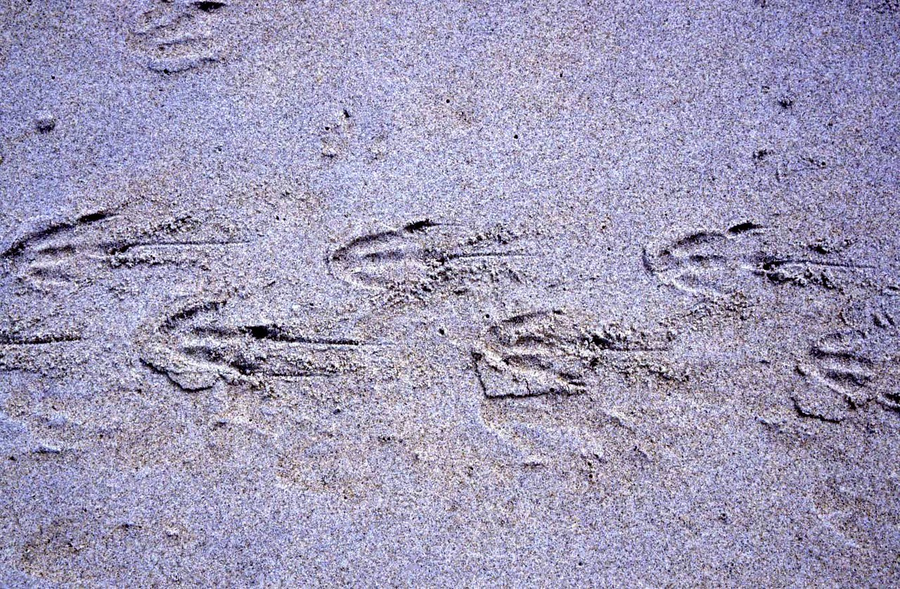 Yellow-eyed penguin footprints
