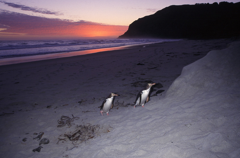 Yellow-eyed penguins (Megadyptes antipodes) coming on shore