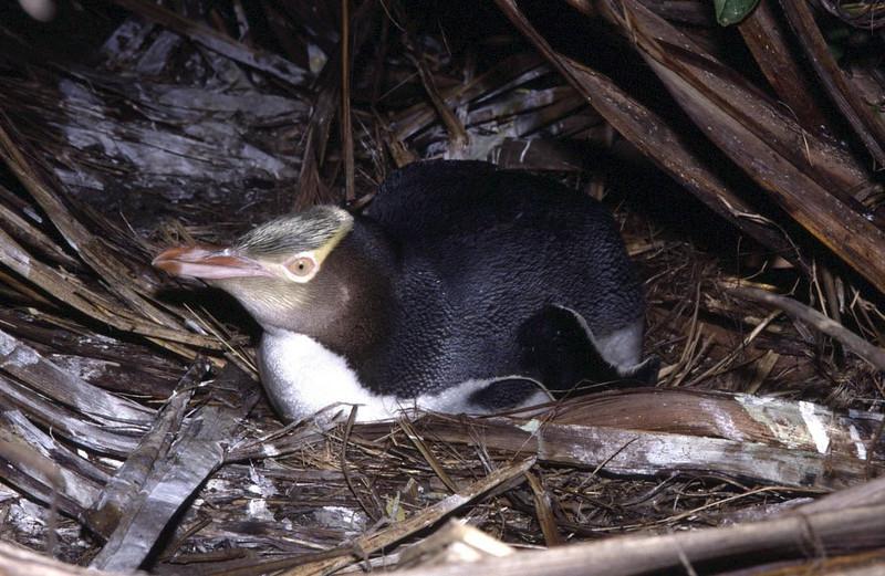 Nesting yellow-eyed penguin (Megadyptes antipodes)