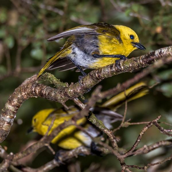 Yellowhead / mohua (Mohoua ochrocephala). McLennan Stream, Catlins Forest.