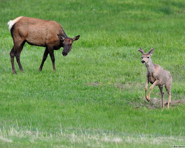 Elk & Mule Deer<br /> Rocky Mountain National Park<br /> Moraine Park<br /> Larimer County, Colorado