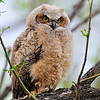 Great Horned Owlet<br /> Boulder County, Colorado