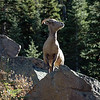 Big Horn Sheep<br /> Clear Creek County, Colorado<br /> Guanella Pass