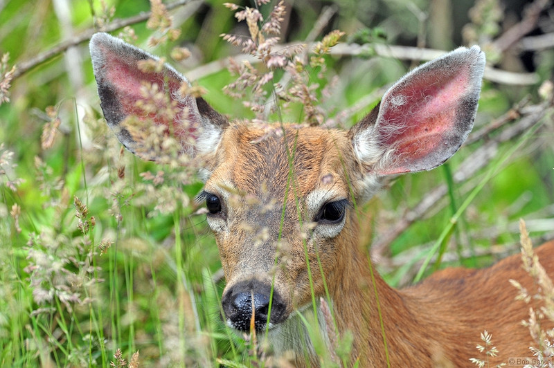 White-tailed Deer<br /> Oceanside, Oregon<br /> Cape Meares Loop