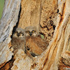 Great Horned Owlets<br /> Boulder County, Colorado