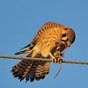 """Mouse Tartare""<br /> American Kestrel<br /> Weld County, Colorado"