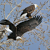 "American Bald Eagle<br /> Boulder County, Colorado<br /> ""Off to Hunt"""