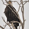 """You Looking At Me""<br /> Bald Eagle<br /> Rocky Mountain Arsenal NWR<br /> Adams County, USA"