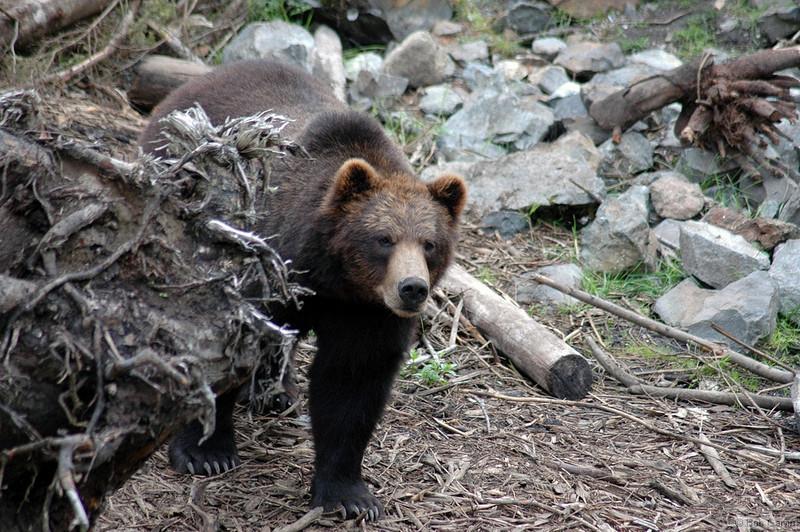 Brown Bear<br /> Sitka Alaska<br /> Sawmill Creek Road