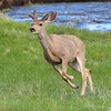 Mule Deer Buck<br /> Rocky Mountain National Park<br /> Moraine Park<br /> Larimer County, Colorado