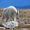 Mountain Goat<br /> Mount Evans<br /> Clear Creek County, Colorado