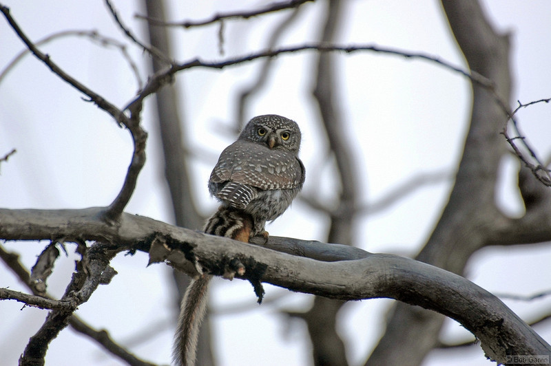 Northern Pygmy Owl (with Least Chipmunk prey)<br /> Rocky Mountain National Park<br /> Larimer County, Colorado