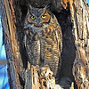 Great Horn Owl and Owlet <br /> Boulder County, Colorado