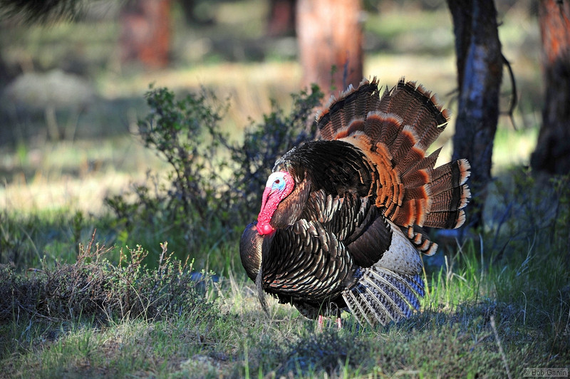 Wild Turkey<br /> Rocky Mountain National Park<br /> Larimer County, Colorado