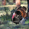 Wild Turkey<br /> Rocky Mountain National Park<br /> Larimer County, Colorado