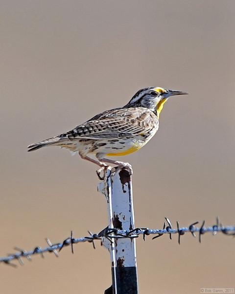 Western Medowlark<br /> Boulder County, Colorado