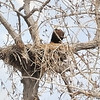 American Bald Eagle & Eaglet<br /> Boulder County, Colorado