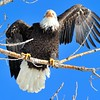 Bald Eagle<br /> Boulder County, USA<br /> Lagerman Reservoir
