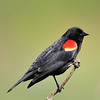 Red WIng Black Bird<br /> Boulder County, Colorado<br /> Walden Ponds