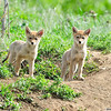 Coyote Pups<br /> Boulder County, Colorado
