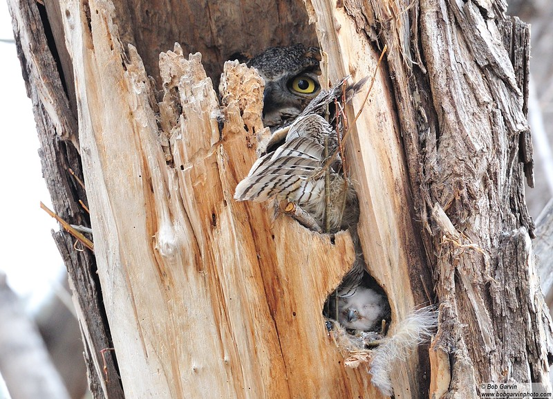 Great Horned Owlet (sleeping under Mom)<br /> Boulder County, USA