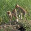 Coyote Pups<br /> Boulder County, Colorado
