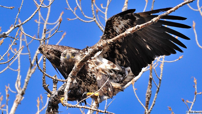 Bald Eagle (Immature, 3rd year)<br /> Boulder County, USA