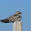 Common Nighthawk<br /> Weld County, Colorado<br /> Pawnee National Grasslands