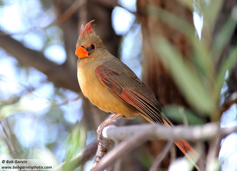 Northern Cardinal (female)<br /> Pima County, Arizona